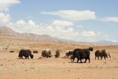 Mongolian yaks. Royalty Free Stock Image