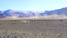 Mongolians horsemen in traditional clothing with their golden eagles riding horseback. In the rocky field stock footage