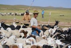 Mongolians recalculate sheep before cutting wool for felt, circa Harhorin, Mongolia. Stock Photo