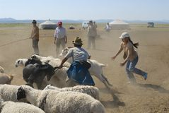 Mongolians recalculate sheep before cutting wool for felt, circa Harhorin, Mongolia. Royalty Free Stock Photography