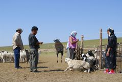 Mongolians recalculate sheep before cutting wool for felt, circa Harhorin, Mongolia. Royalty Free Stock Image
