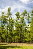 Mongoliet nordliga skogar Fotografering för Bildbyråer