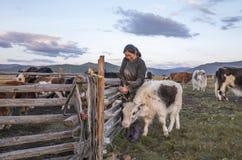 Mongolische Frau, die ihre Kühe an einem Morgen milk Stockfotos