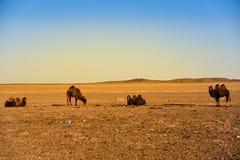 Mongolische Kamele stehen in der Wüste Lizenzfreie Stockbilder