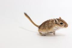Mongolische Rennmaus der Sänfte, Wüsten-Ratte stockbilder