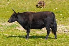 Mongolische Yak in der Weide Stockfoto