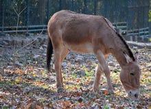 mongolischer wilder Esel Lizenzfreies Stockfoto
