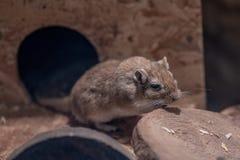 Mongolisches Rennmaus Meriones unguiculatus oder nannte Wüstenratten ist ein kleines Säugetier lizenzfreies stockfoto