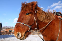 Mongolisk häst Royaltyfria Foton