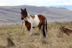 Mongolisk häst Arkivbilder