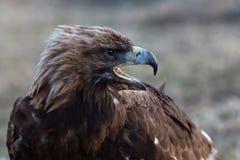 Mongolisk huvudnärbild för guld- örn Natur Royaltyfri Bild