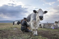 Mongolisk kvinna som mjölkar en ko Royaltyfria Bilder