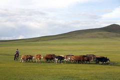 Mongolisk kvinna som samlas nötkreatur Fotografering för Bildbyråer