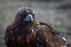 Mongoliska guld- Eagle, närbild Natur Royaltyfri Fotografi