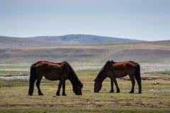 Mongoliska hästar Royaltyfri Fotografi