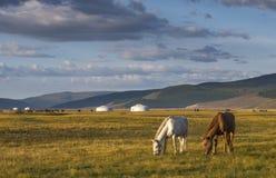 Mongoliska hästar i ett landskap av nordliga Mongoliet royaltyfria bilder