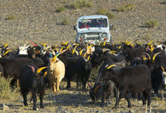 Mongoliska herdar på SUV Arkivbild