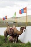 Mongoliska kamel Arkivfoton