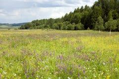 Mongoliska vildblommor Arkivbilder