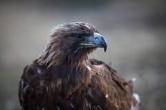 Mongoliskt huvud för guld- örn, närbild Natur Royaltyfria Foton