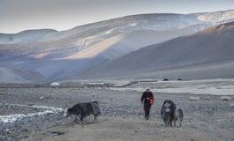mongoloidkvinna med yaks Arkivfoton