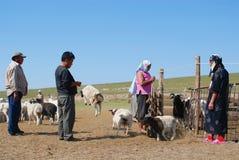 Mongolscy ludzie liczą bydło przed tnącą wełną dla odczuwanego w Harhorin, Mongolia zdjęcia royalty free