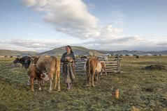 Mongolska kobieta doi jej krowy w ranku obraz stock