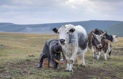 Mongolska kobieta doi krowy obrazy royalty free