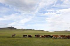 Mongolska kobieta Gromadzi się bydła zdjęcie royalty free