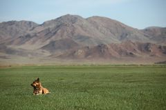 Mongoolse Hond Royalty-vrije Stock Foto's