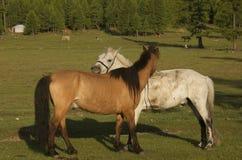 Mongoolse Paarden Stock Afbeelding