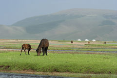 Mongoolse Paarden Royalty-vrije Stock Fotografie