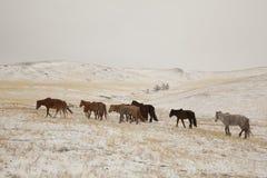 Mongoolse Paarden in sneeuw Stock Afbeeldingen