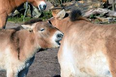 Mongoolse wild paarden Royalty-vrije Stock Foto's