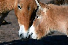 Mongoolse wild paarden, moedermerrie en veulen Royalty-vrije Stock Foto's