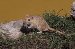 Mongoolse woestijnrat, Meriones-unguiculatus stock fotografie