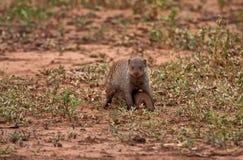 Mongoos del bambino e della madre Fotografia Stock