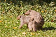 Mongoose αγάπη Στοκ Εικόνες