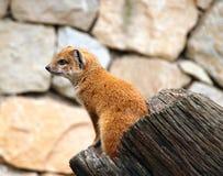 mongoose κίτρινο Στοκ Φωτογραφίες