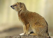 mongoose κίτρινο Στοκ φωτογραφία με δικαίωμα ελεύθερης χρήσης