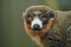 Mongoose κερκοπίθηκος Στοκ Φωτογραφίες