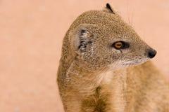 mongoose παρακολούθησε το λευκό Στοκ φωτογραφίες με δικαίωμα ελεύθερης χρήσης