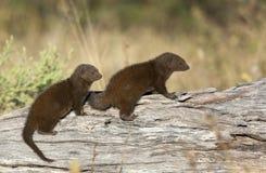 Mongoose карлика - Ботсвана Стоковое Изображение