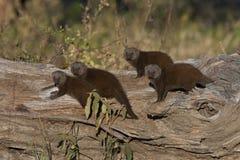 mongoose карлика Ботсваны Стоковые Изображения RF