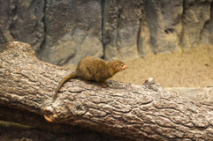 mongoose карлика Стоковая Фотография