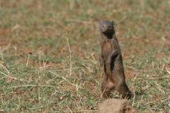mongoose карлика Стоковое Изображение RF