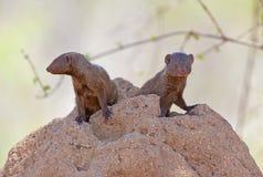 mongoose карлика Стоковые Фотографии RF
