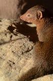 mongoose карлика Стоковые Фото