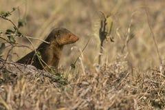 mongoose карлика Стоковое Изображение
