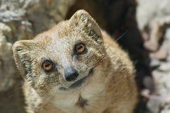 mongoose Στοκ φωτογραφία με δικαίωμα ελεύθερης χρήσης
